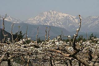 大山(だいせん)と梨の花